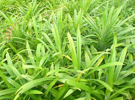 Budidaya tanaman pandan yang tumbuh menyemak