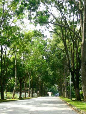 Deretan pohon mahoni untuk peneduh jalan