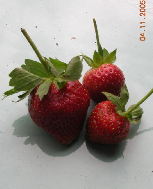 Buah strawberry setelah dipetik, biasanya langsung dimakan begitu saja.