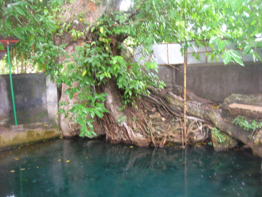 Sumber mata air sendang Jimbung di bawah pohon Waru.