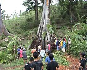 Sosok batang pohon tumbang yang dapat berdiri lagi.