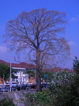 Pohon Kembang Merak di depan Museum Affandi.