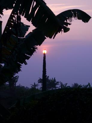 Pohon cemara hias di Bandungan.