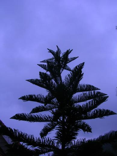 Pohon cemara di Bandungan.