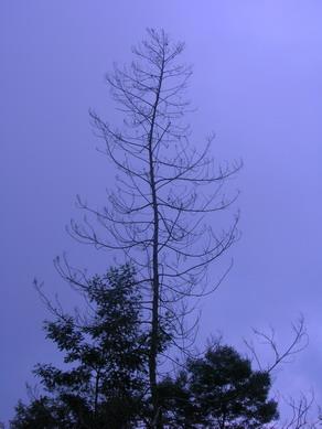 Pohon mati di Deles.