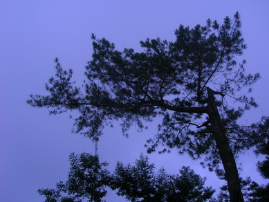 Pohon cemara di Deles.