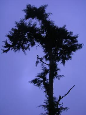 Pohon pinus di Deles.