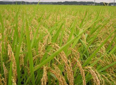 Tanaman padi di sawah siap panen.