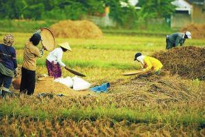 Suasana panen padi di sawah.