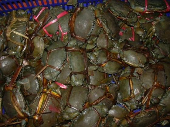 Kepiting bakau siap jual.