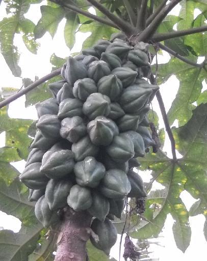 Deretan buah carica di pohon.