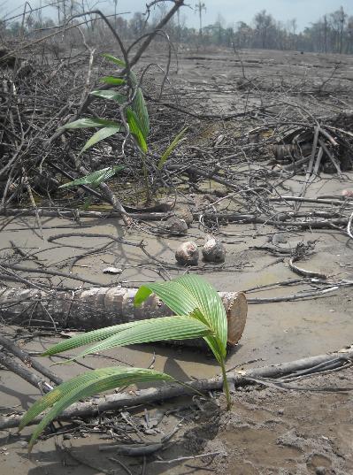 Tunas tanaman yang baru ditanam di lereng bekas letusan.