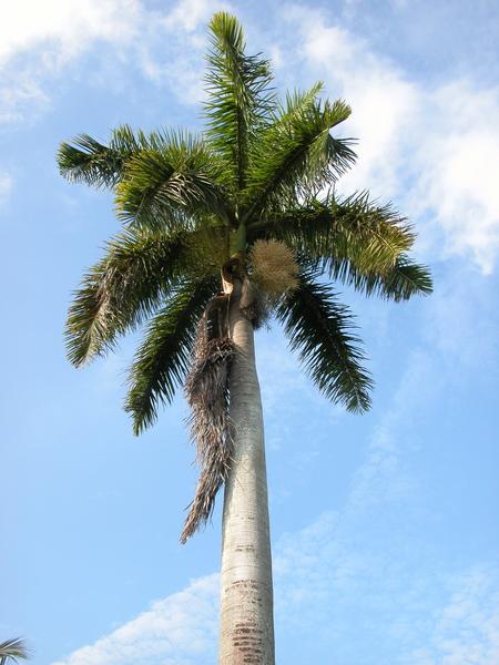 Sosok pohon palem raja yang biasa untuk peneduh jalan.