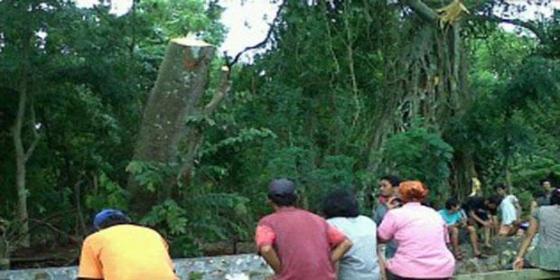 Pangkal batang pohon tumbang yang bangkit kembali.