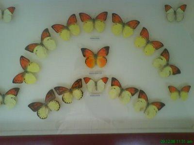 koleksi kupu-kupu... ini sih bukan reptil.