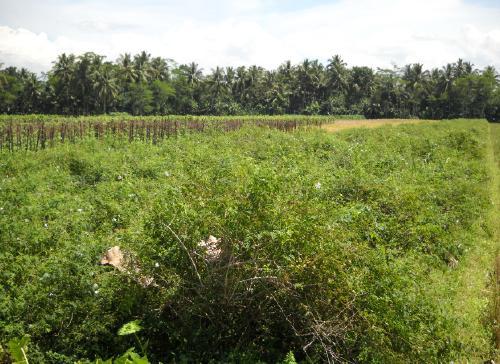 Salah satu kebun melati teh di Bukateja, Purbalingga.