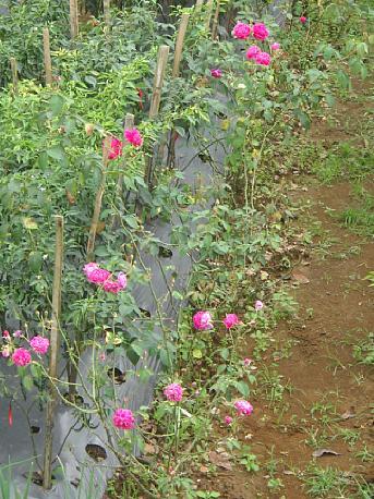 Pohon mawar yang tumbuh di lahan kebun.