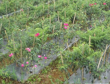 Tumpang sari pohon mawar dengan tanaman cabe.