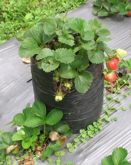 Tanaman strawberry dalam polybag yang sudah berbuah. Dapat dibeli per polybag. lho...