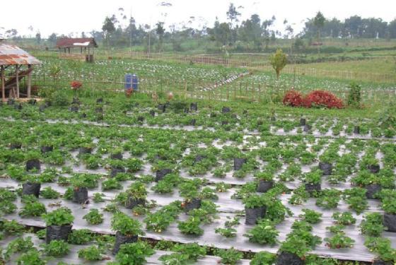 Hamparan kebun straberry di Pratin, Karang reja Purbalingga.