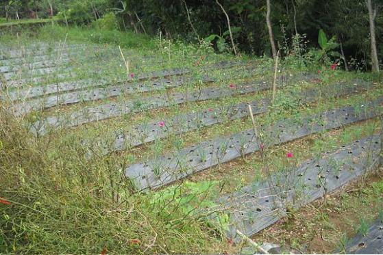 Tanaman mawar di antara taludan tanaman sayur.