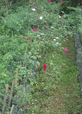 Tanaman mawar yang subur dan rajin berbunga.