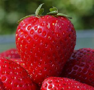 Buah strawberry yang memancing dimakan langsung dari pohon