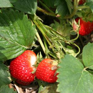 Buah strawberry menarik selera.