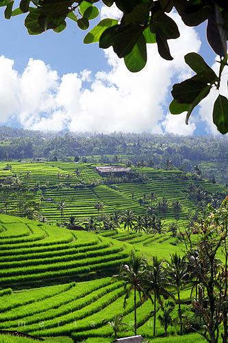 Pemandangan sawah di pulau Bali.