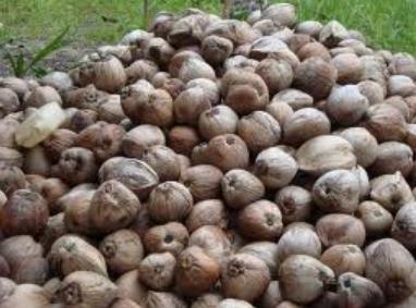 Tumpukan buah kelapa kering.