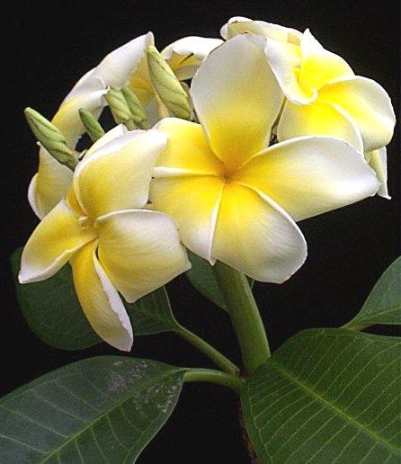 Bunga kamboja yang biasa tumbuh di kuburan.