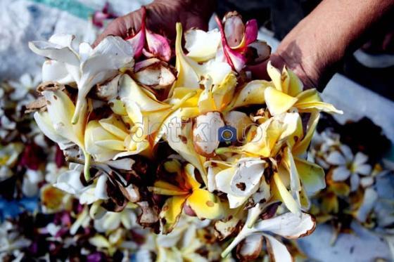 Bunga kamboja dikumpulkan dari berbagai jenis bunga.