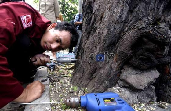 Pemeriksaan batang pohon di Jakarta.