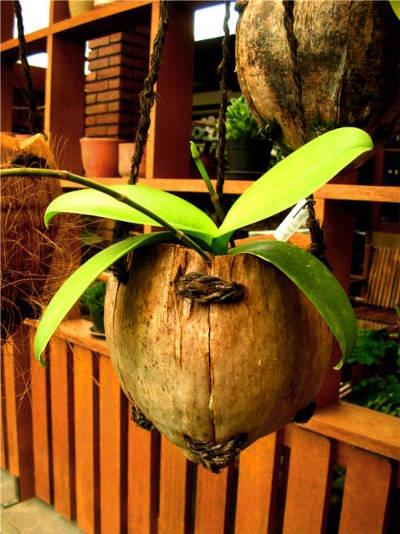 Pot gantung dari buah kelapa kering.
