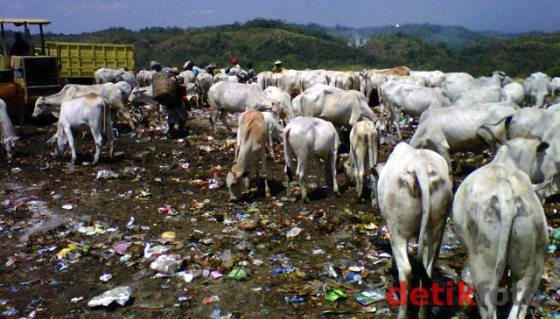 Sapi di TPA (gambar dari detik.com)