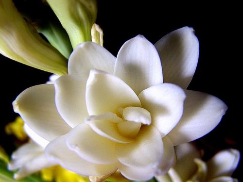 Kuntum bunga sedap malam.