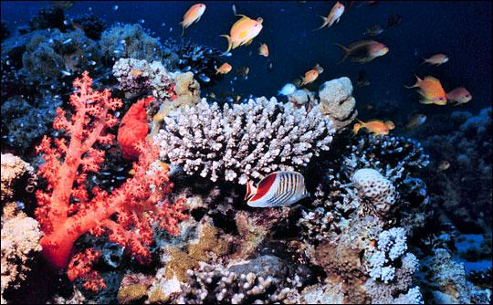Contoh coral reef yang sehat untuk hunian banyak ikan.